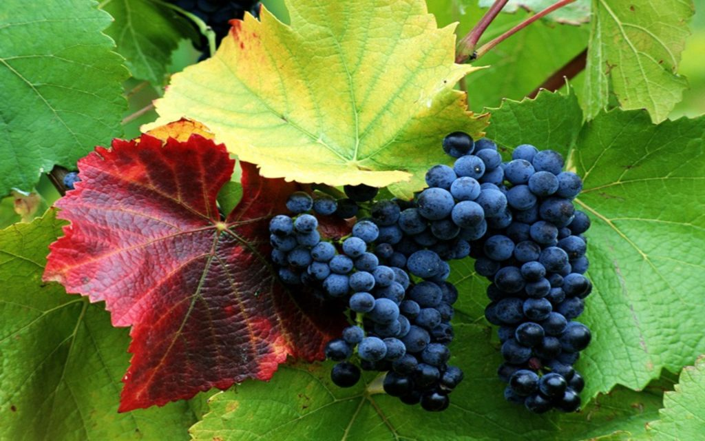 How To Grow Grapes In Kitchen Garde