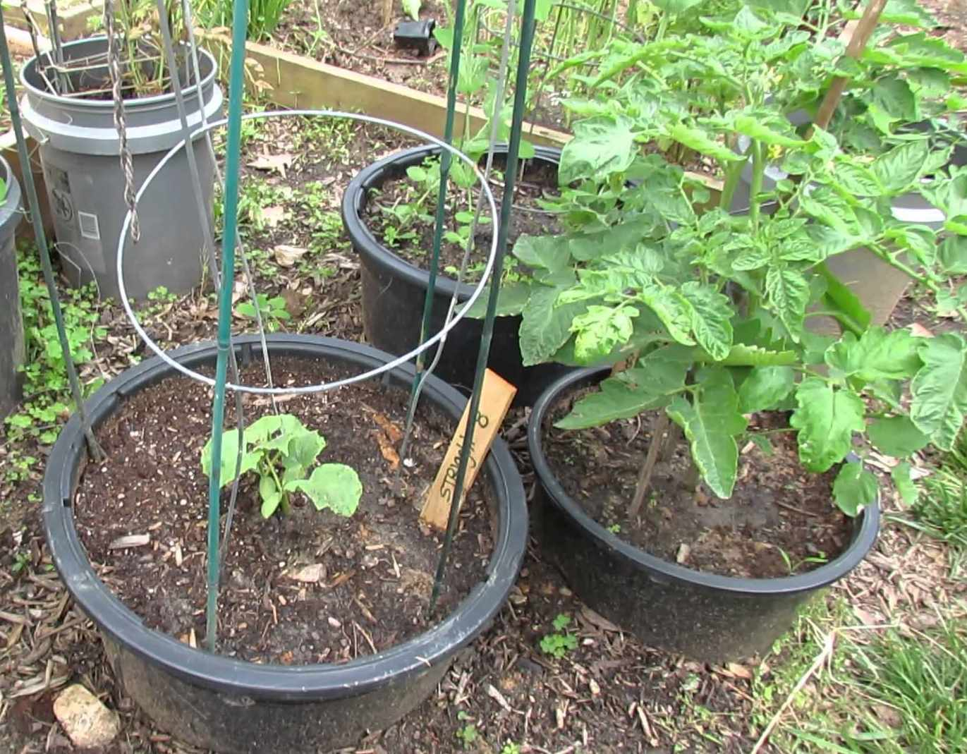 how to grow tomatoes in containers youtube