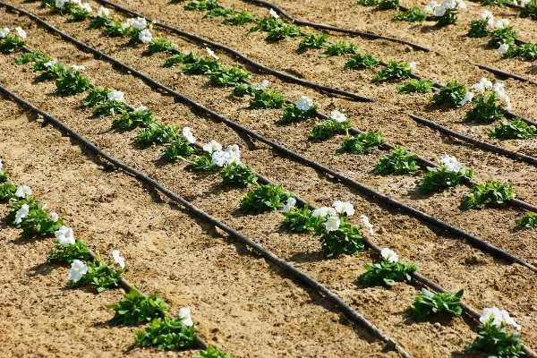 Drip Irrigation in Arid Agriculture