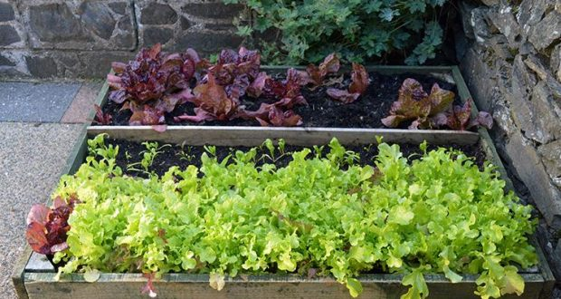 How to Grow Lettuce Leaves