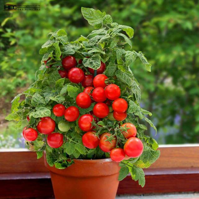 how to grow tomatoes in container of your kitchen garden