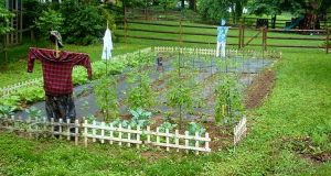 Crop Failure | Vegetable Garden | Arid | Agriculture