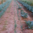 Reducing Soil Evaporation in Arid Agriculture | Arid Agriculture