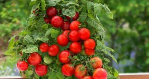 grow tomatoes in container